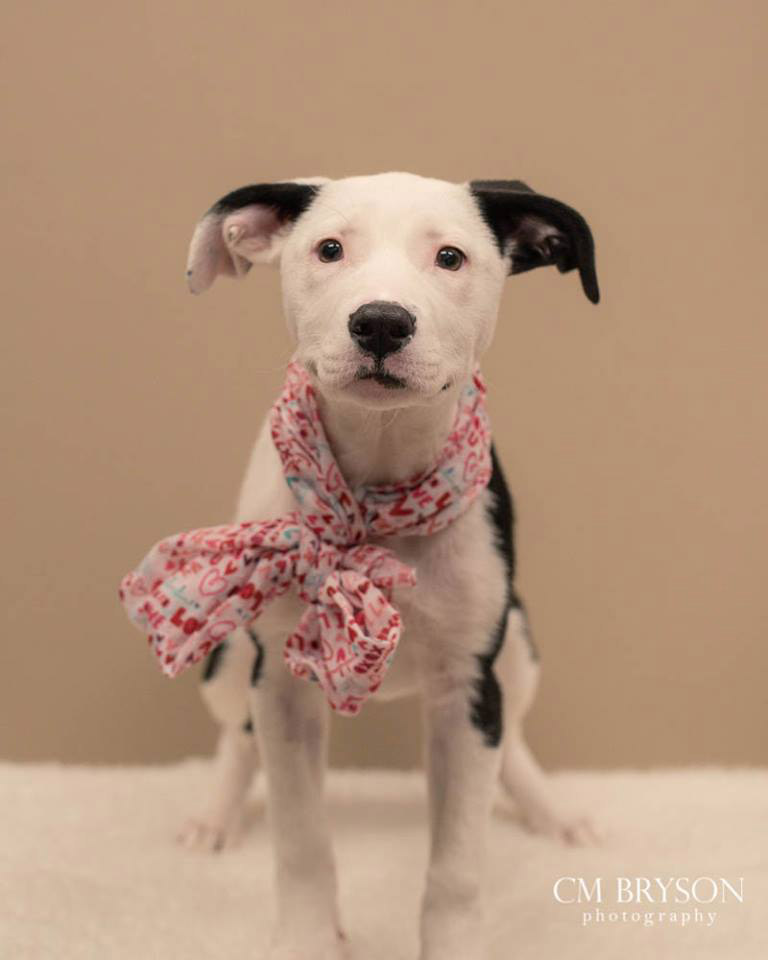Valentine the American Bulldog Mix