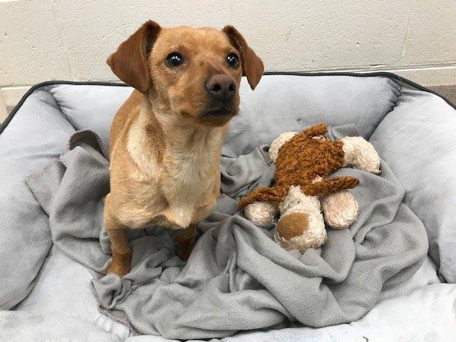 April The Dachshund Chihuahua Mix