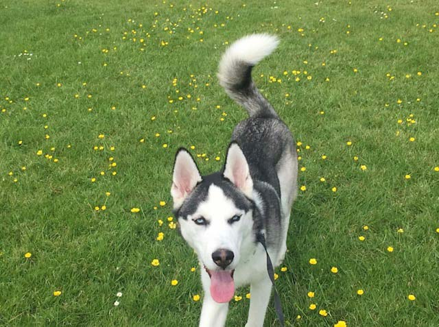 Cody the Siberian Husky