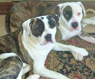 Jack and Lexy the Alapaha Blue Blood Bulldogs