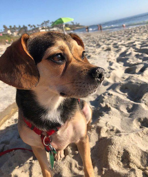 Meeko the Beagle, Chihuahua Mix