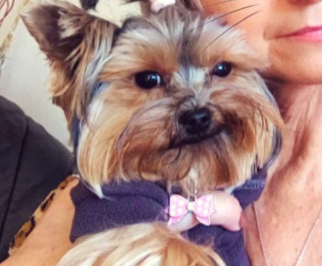 Ivy the Yorkshire Terrier