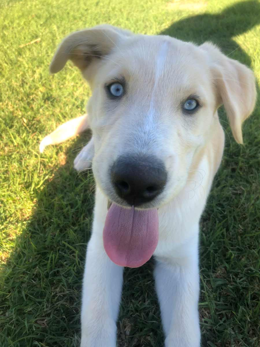 Kona the Golden Retriever Mix