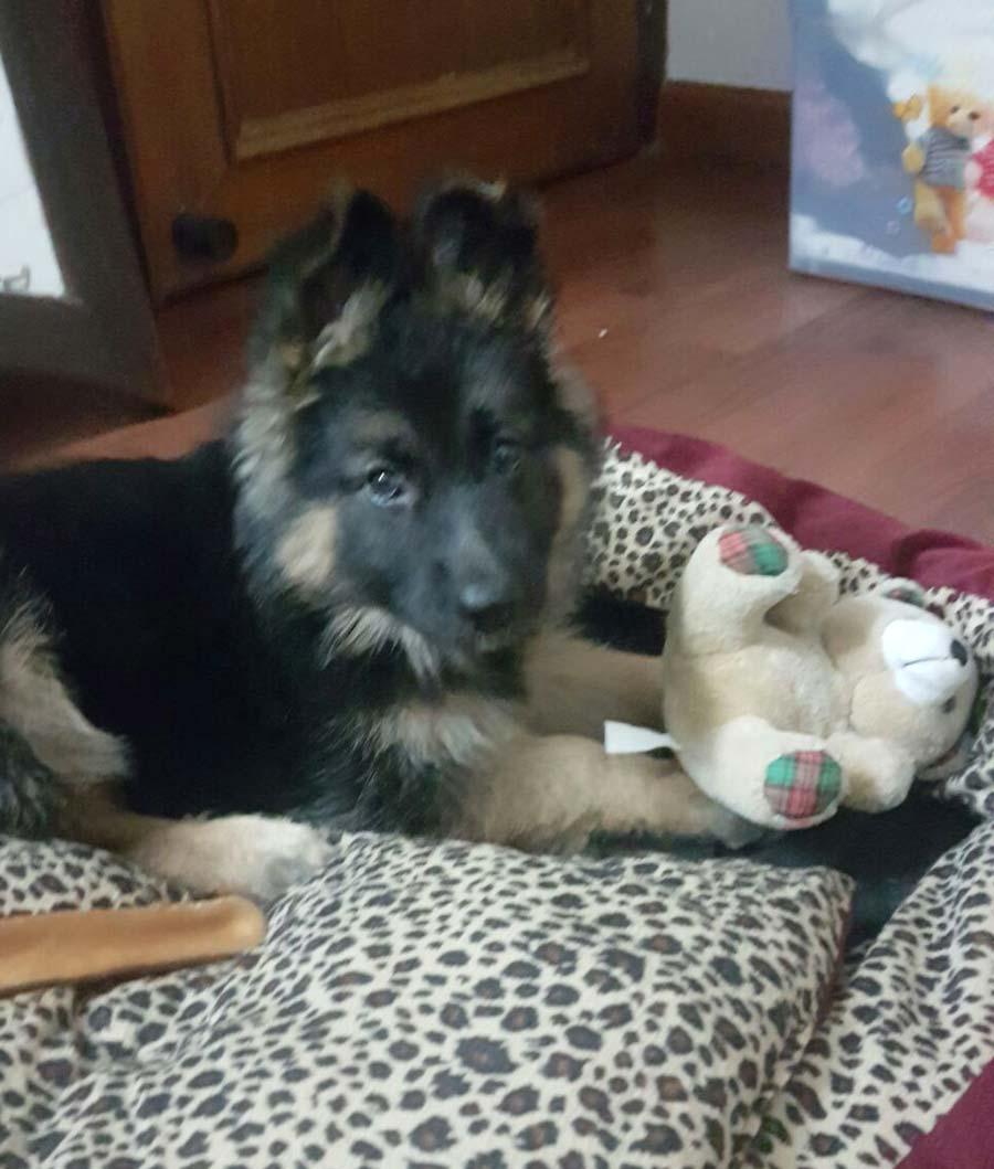 Missa the German Shepherd
