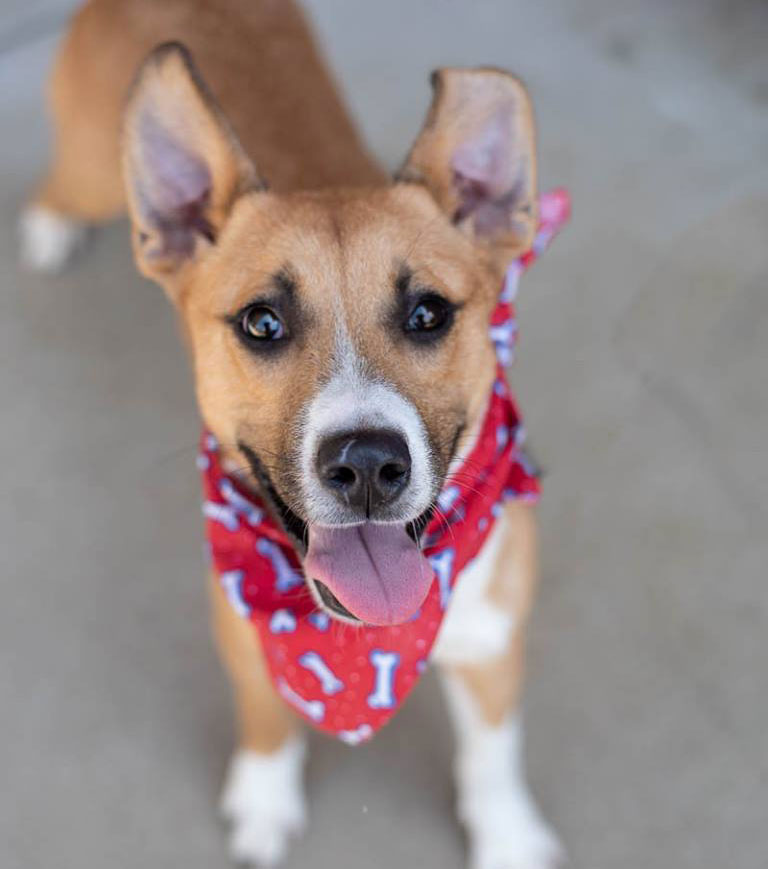 Phineas the Australian Cattle Dog Mix
