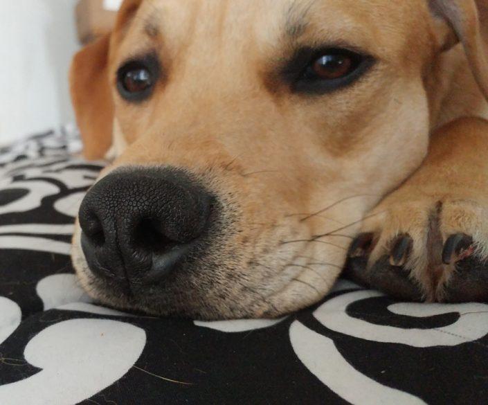 Toast the Labrador, Hound Mix