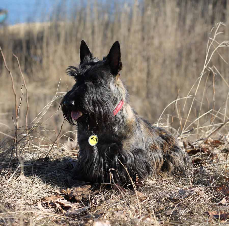 Viva the Scottish Terrier