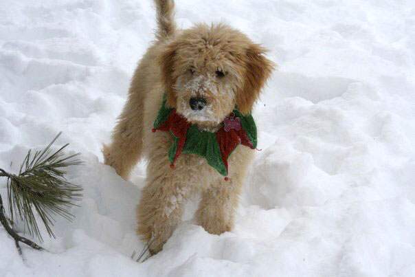 Kira the Goldendoodle