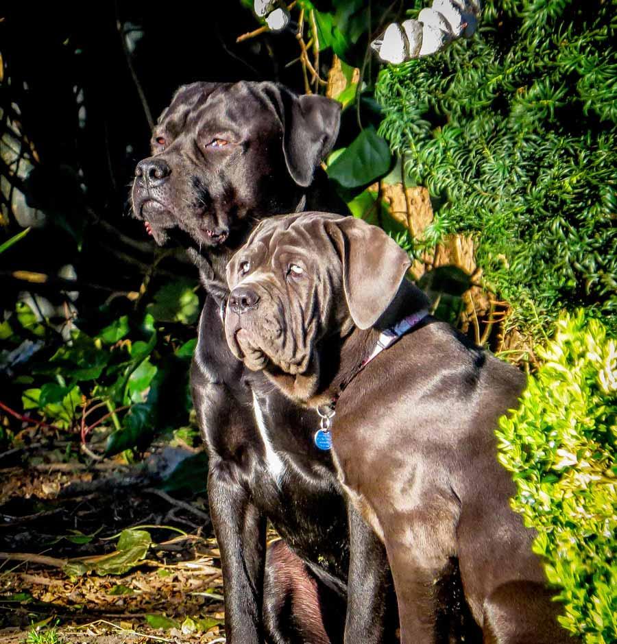 Jack the Mastador and Sophia the Neapolitan Mastiff