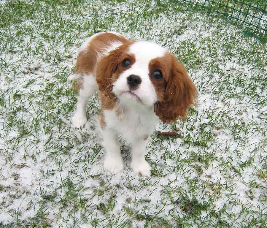 Penny the Cavalier King Charles Spaniel
