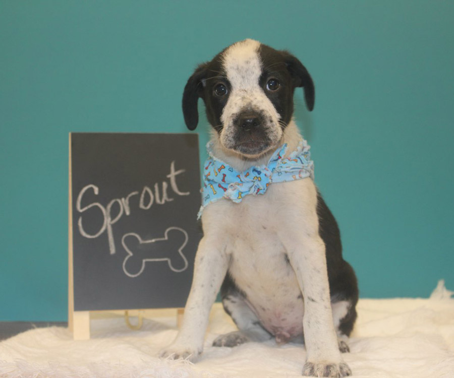 Sprout the Australian Shepherd, Beagle Mix