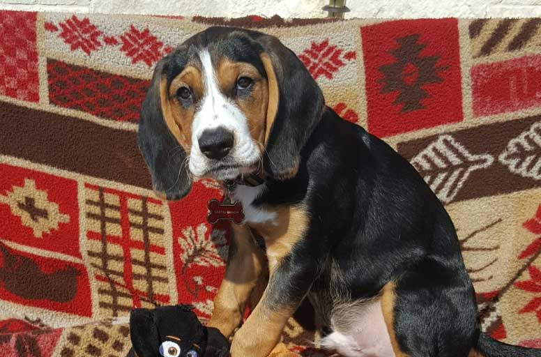 Castiel the Beagle, Bassett Hound Mix