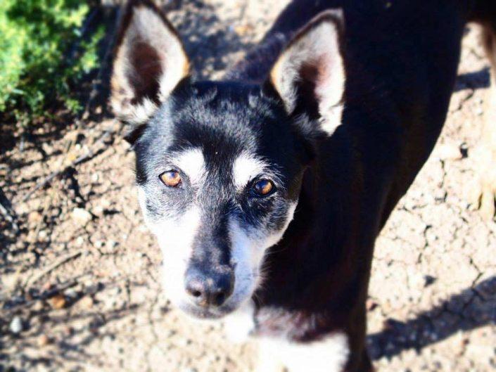Jessie the Australian Kelpie