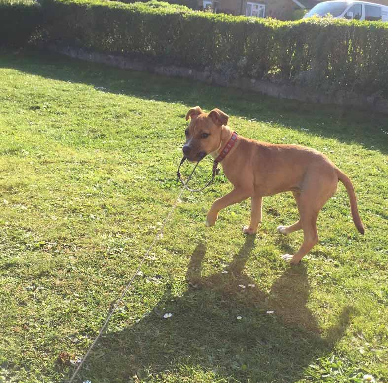 Kyra the Staffordshire Bull Terrier