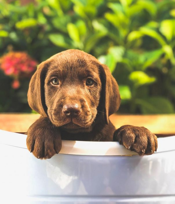 Murphy the Chocolate Labrador Retriever