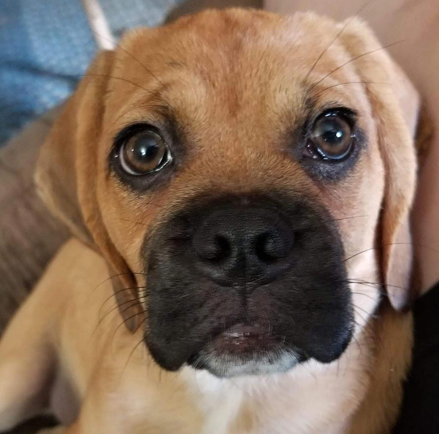 Rosey the Puggle
