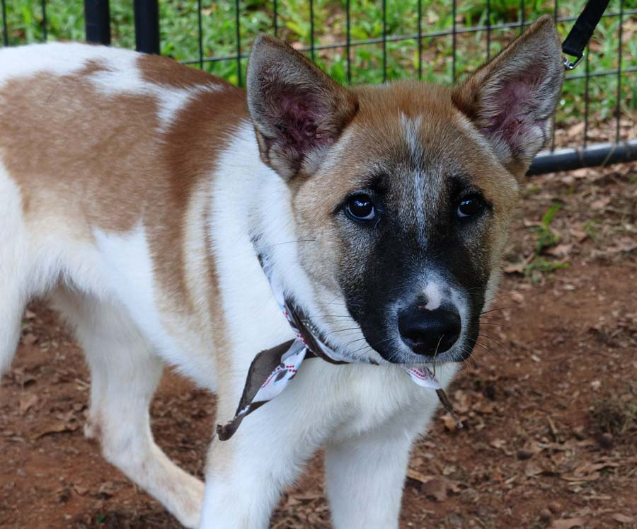 Tiramisu the German Shepherd Mix