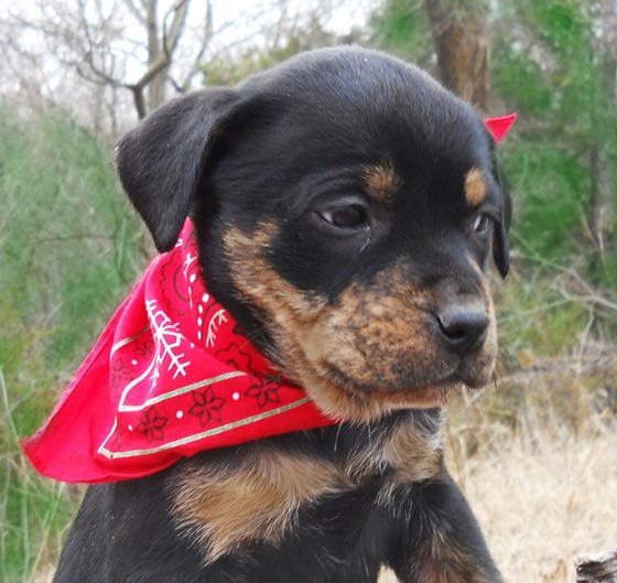 Aleena the Rottweiler Mix