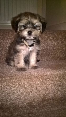 Alfie the Shih Tzu, Yorkie Mix