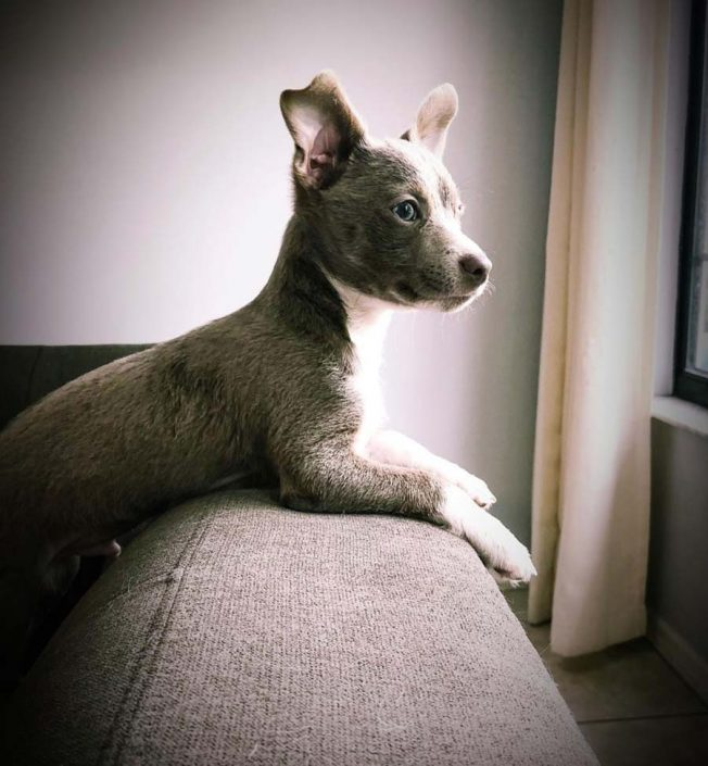 Jocko the Chihuahua, Blue Nose Terrier Mix