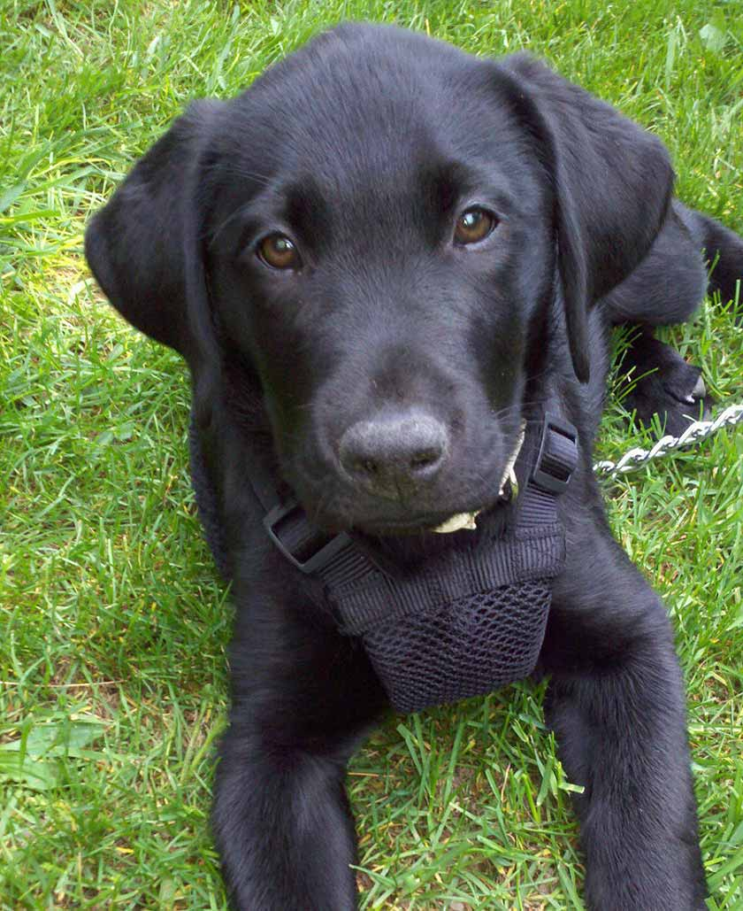 Monty the Labrador Retriever