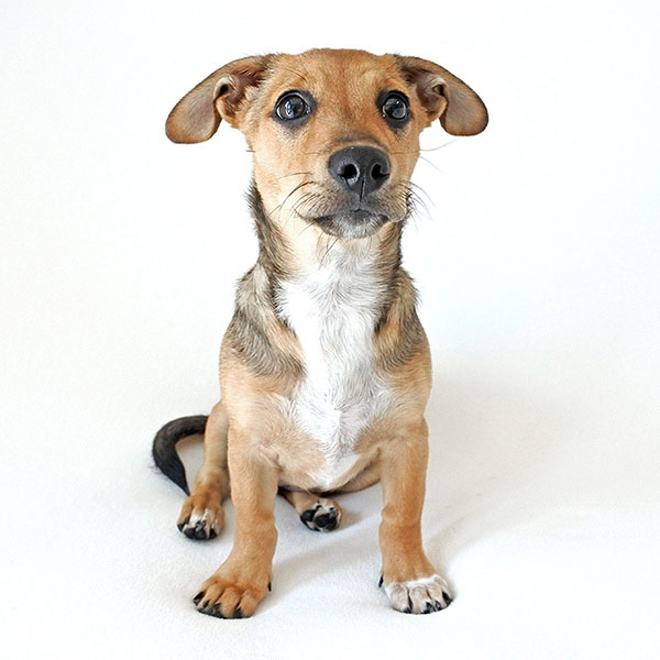 Sayori the Dachshund, Chihuahua Mix