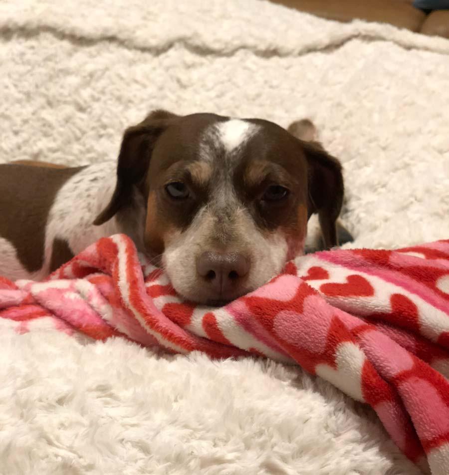 Shiloh the Dachshund, Chihuahua Mix