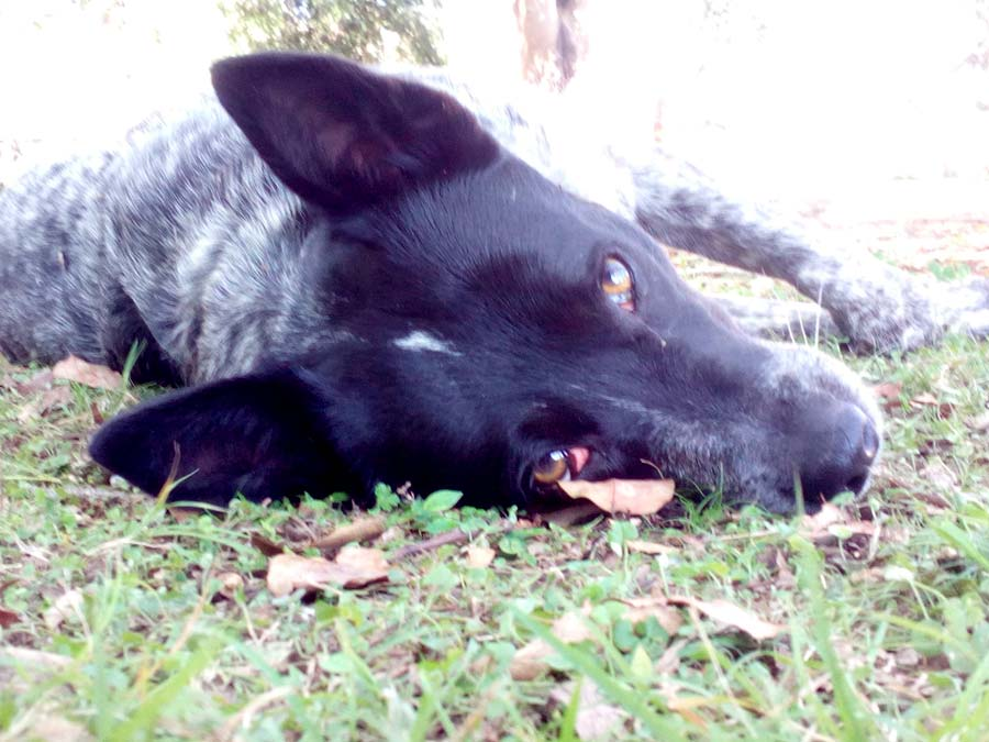 Roxy the Kelpie, Blue Heeler Mix