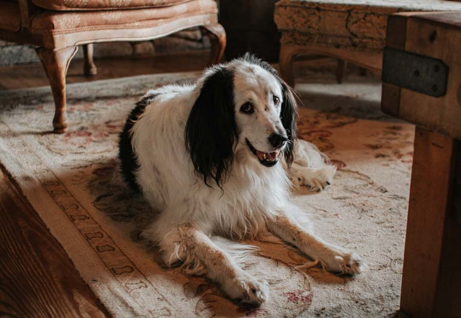 Getting Rid of Pet Hair: 7 Tips for How to Clean Your Carpet