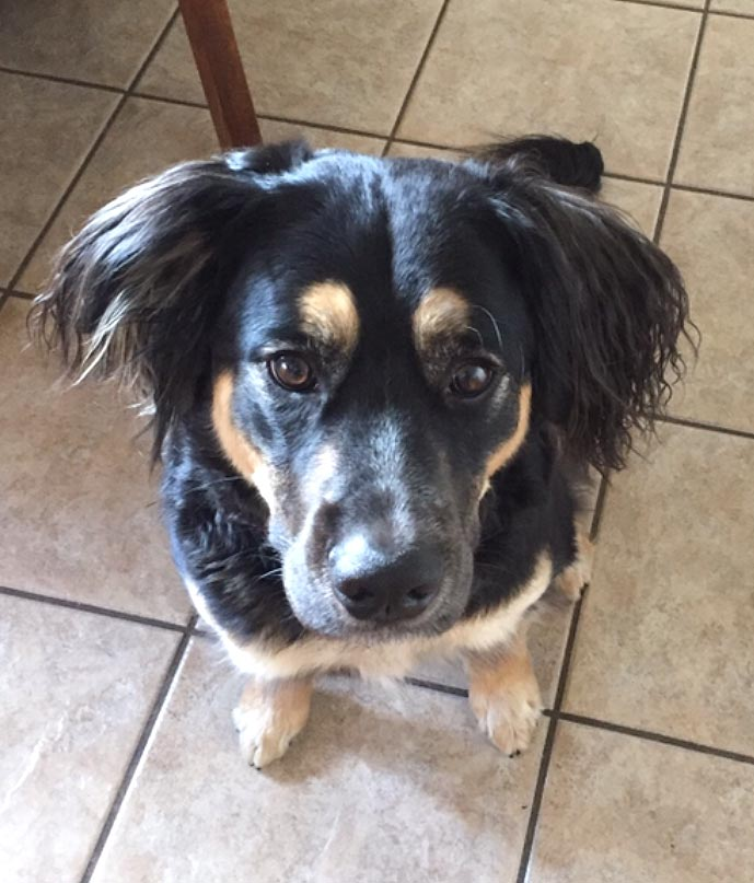 Boomer the Australian Shepherd Mix