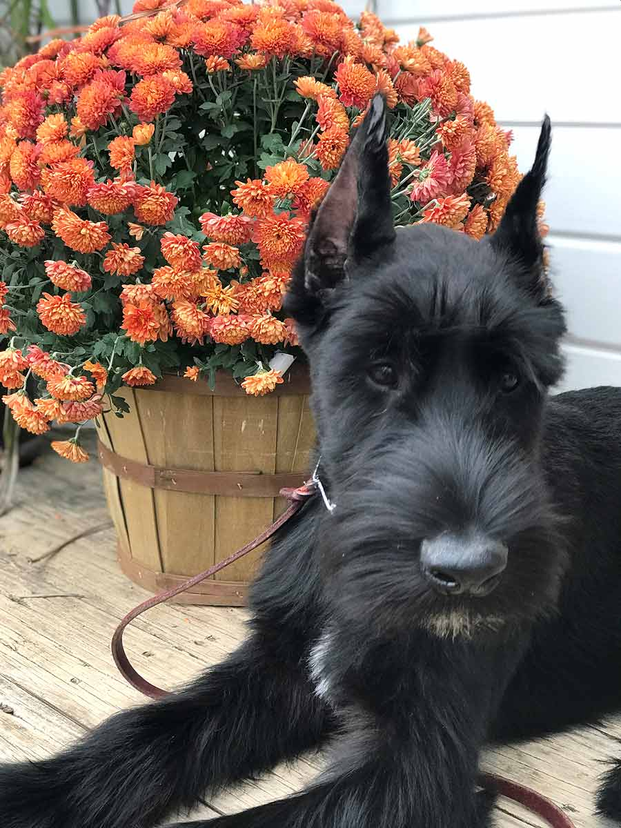 Bordeaux the Giant Schnauzer