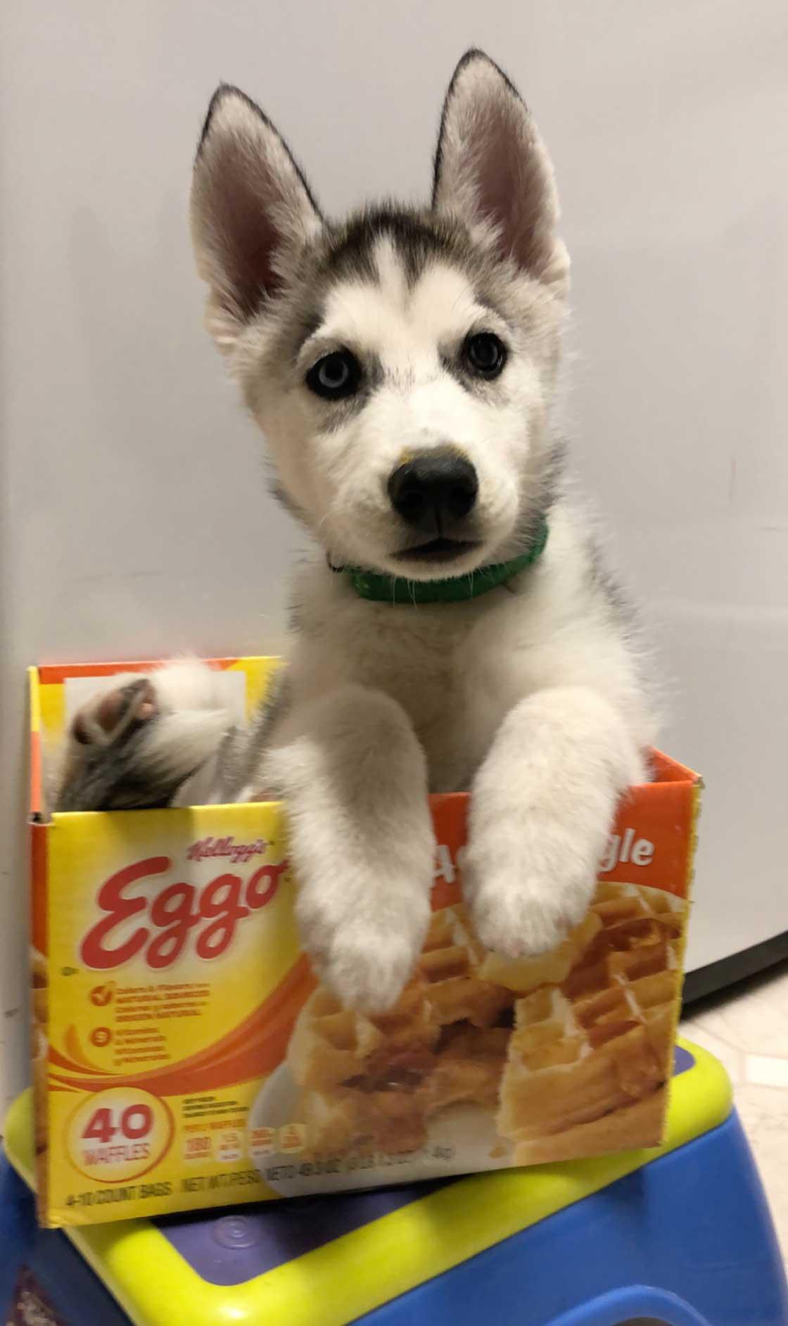 Chip the Siberian Husky
