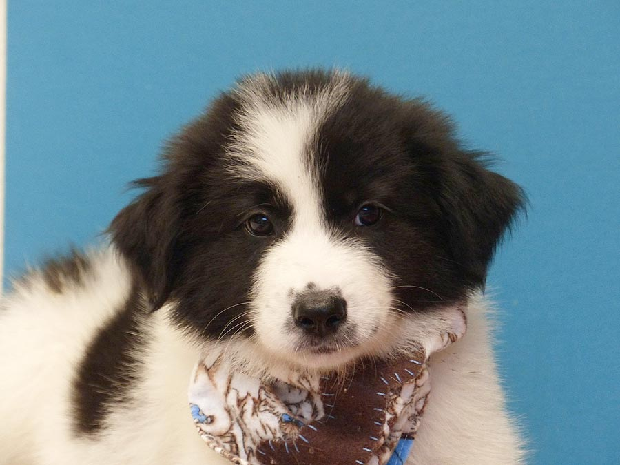 Pablo the Great Pyrenees, Border Collie Mix