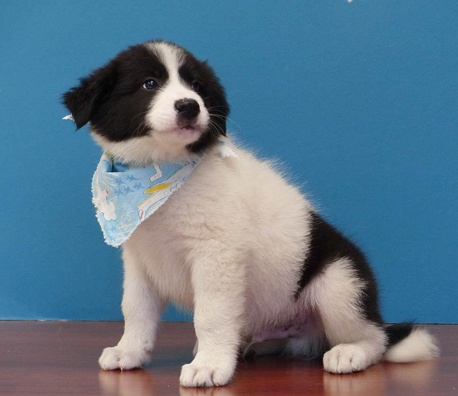 Patches the Great Pyrenees, Border Collie Mix