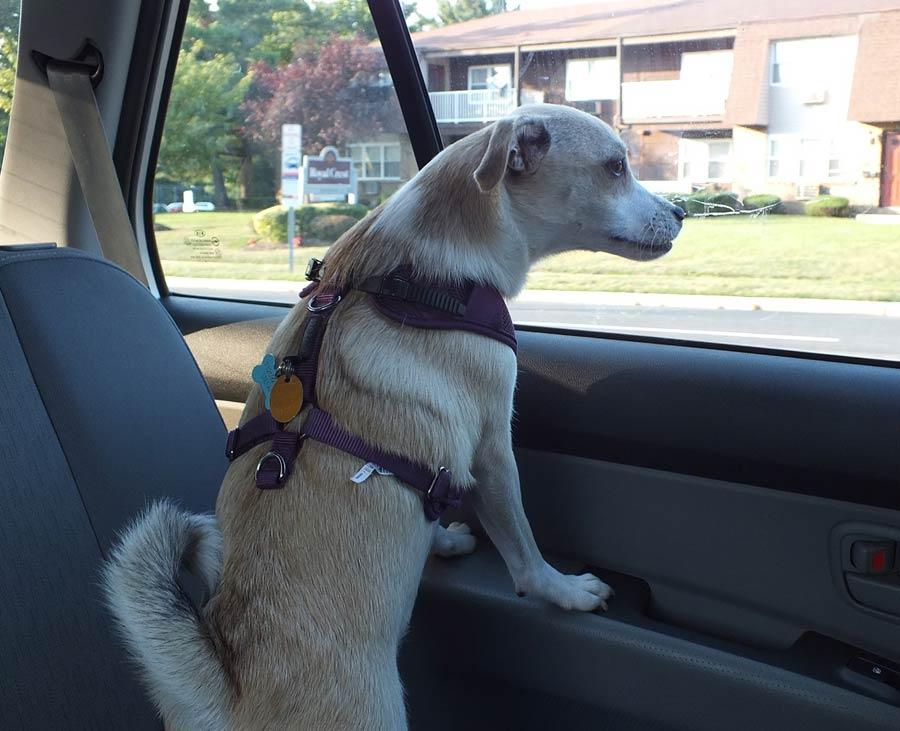 Lola the Labrador, Rottweiler Mix