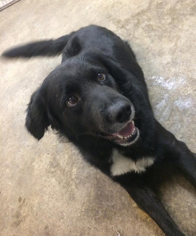 Oreo the Border Collie, Labrador Retriever Mix