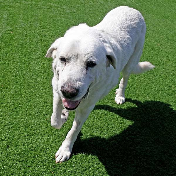 Sammy the Great Pyrenees Mix