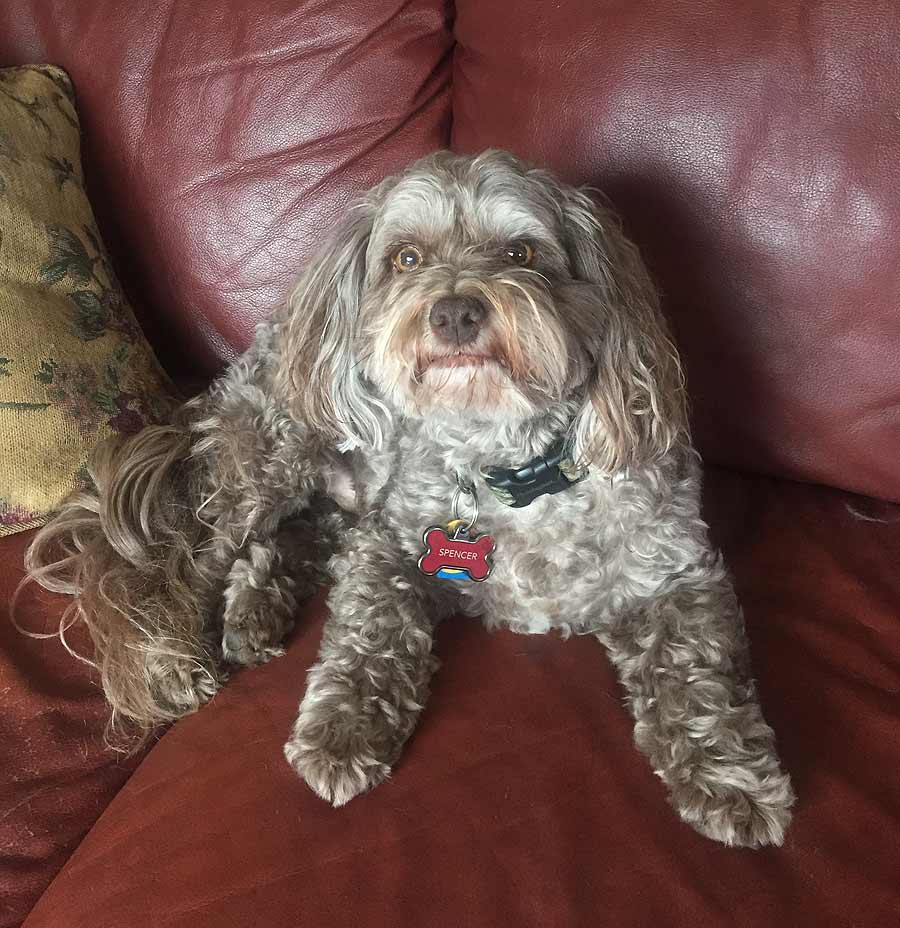 Spencer the Shih Tzu, Poodle Mix