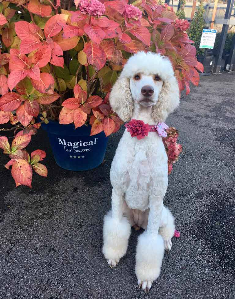 Candy the Standard Poodle