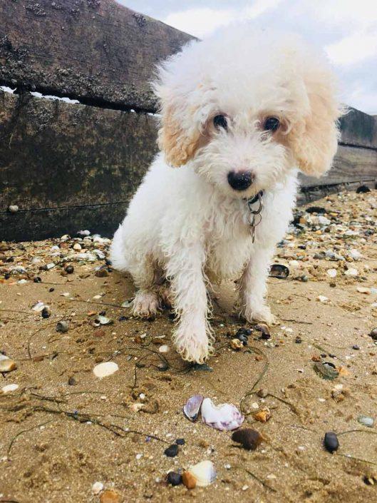 Leo the Miniature Poodle