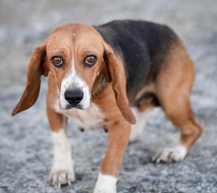 Faith the Beagle