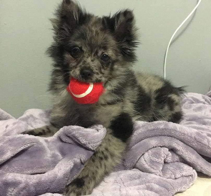Luna The Pomeranian Chihuahua Mix Dogperday Cute Puppy Pictures