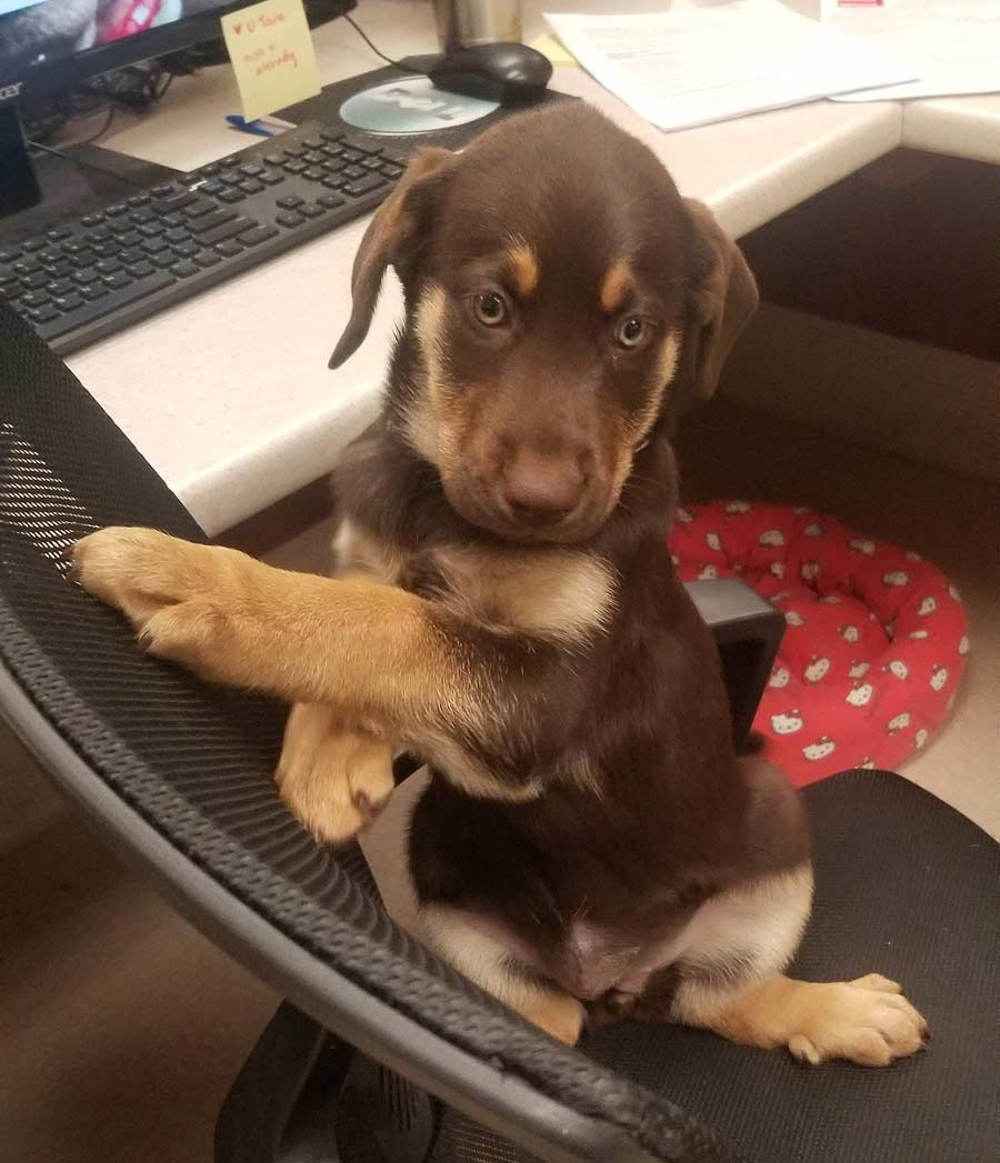 Labrador Retriever, German Shepherd Mix