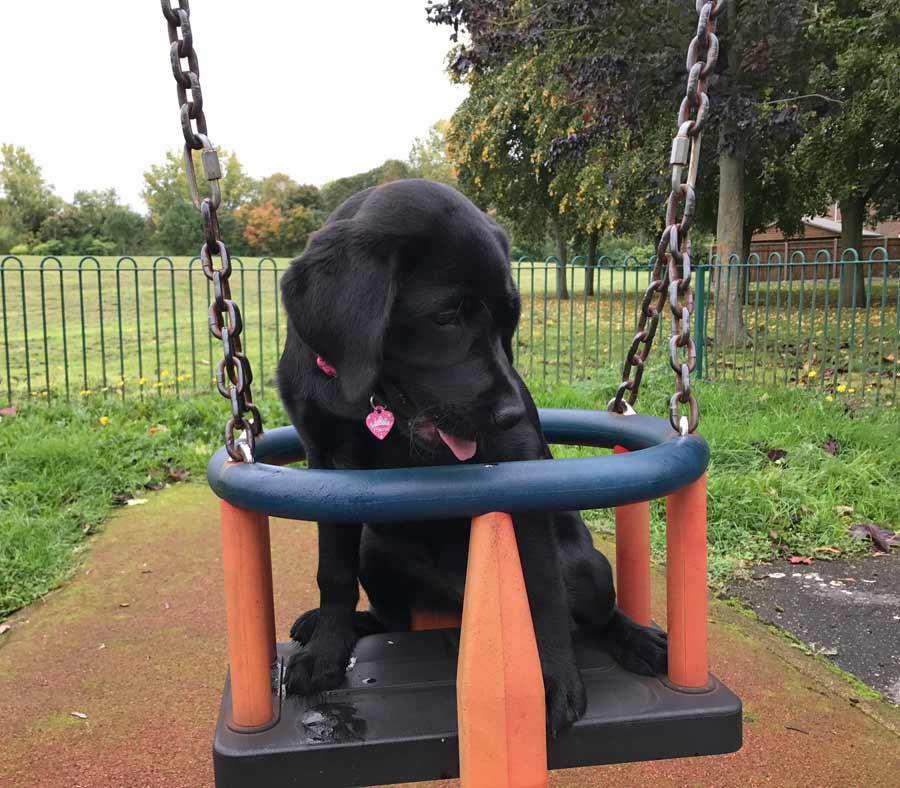 Lola the Black Labrador Retriever