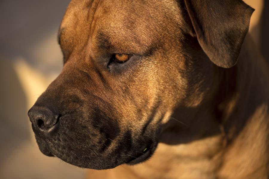Everything You Need to Know About Boerboels