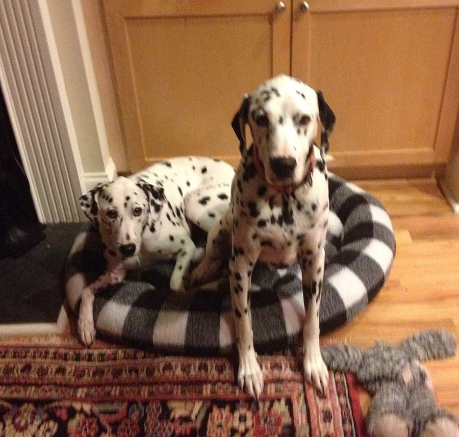 Bentley and Ginger the Dalmatians