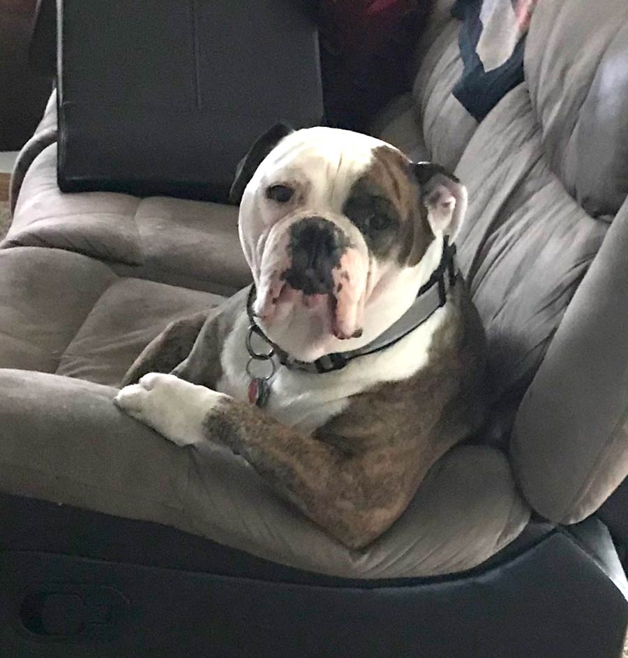 Bob the Olde English Bulldog