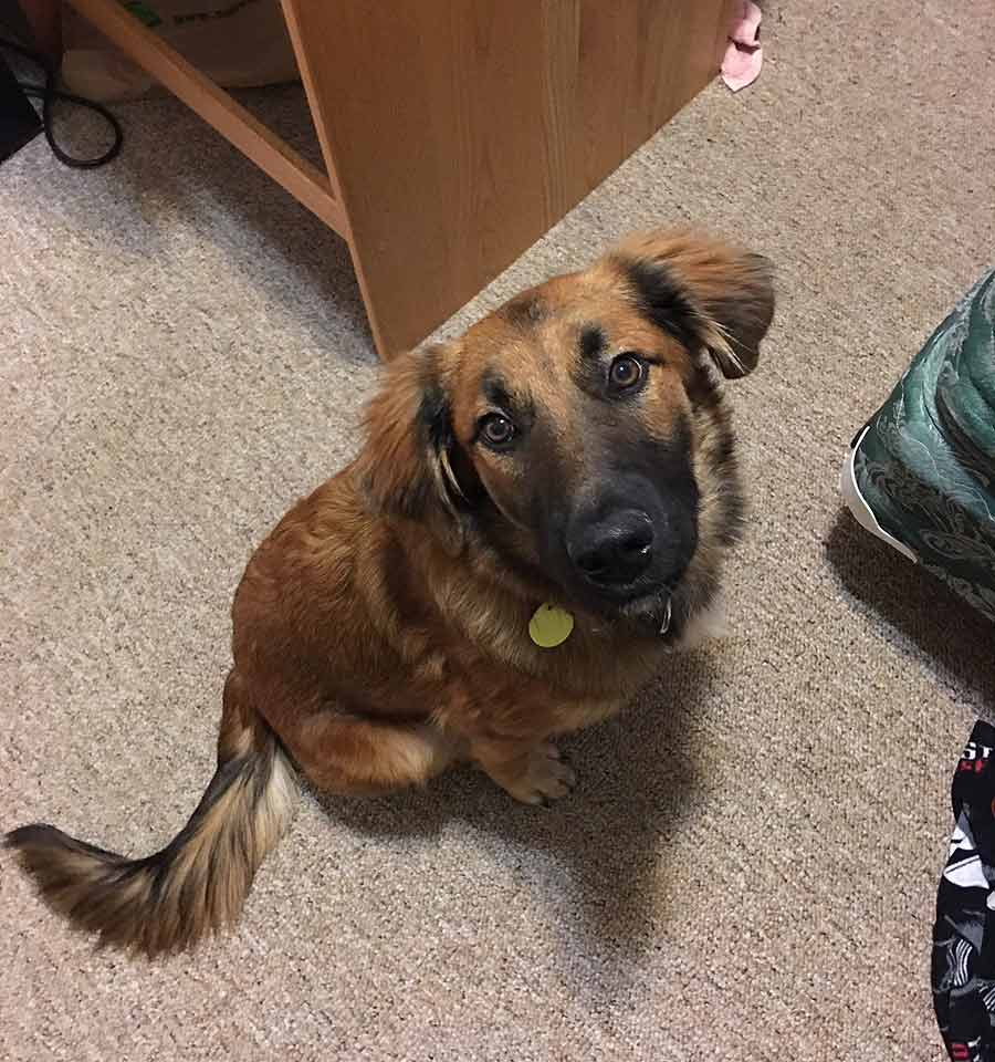 Finley the German Shepherd, Golden Retriever Mix