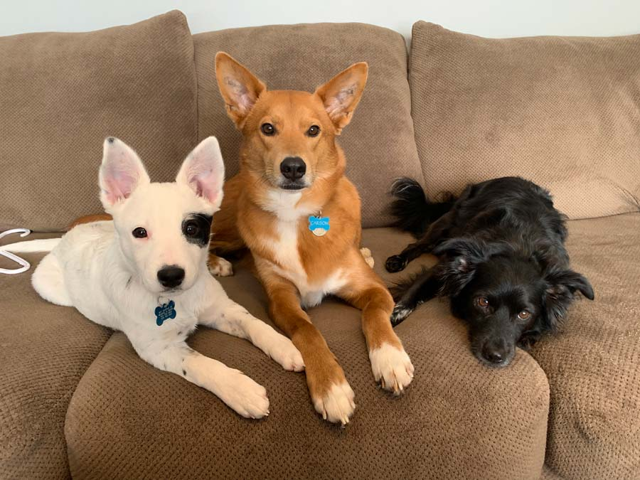 Carson, Pongo and Mason the Mixed Breeds