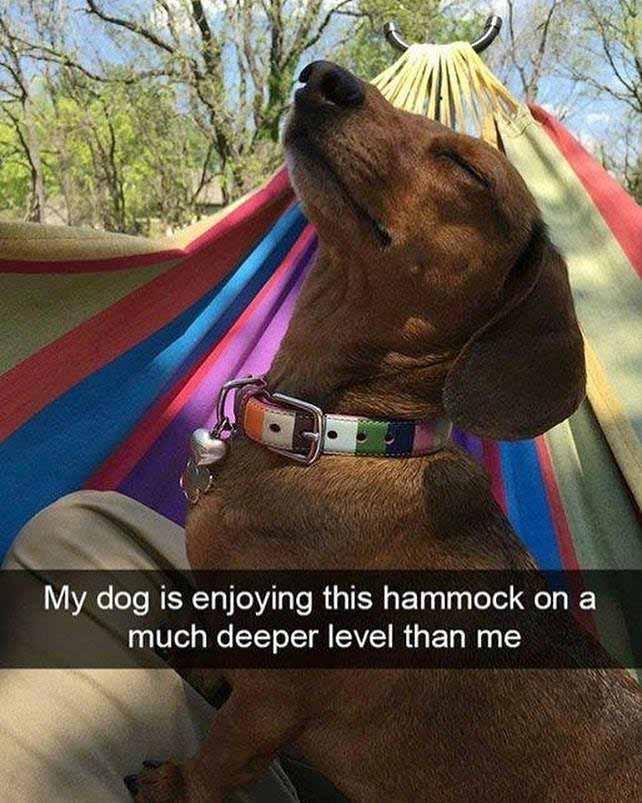 Dog Hammock Meme